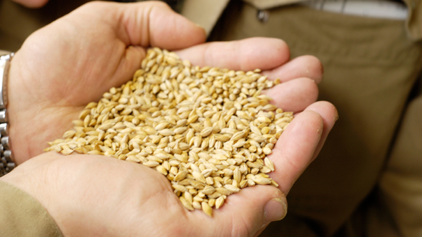 photo of hand holding grains