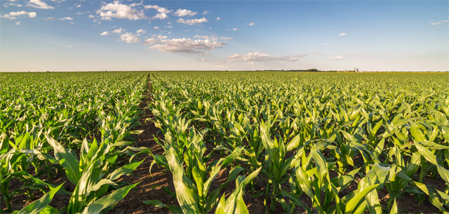 picture of corn in field