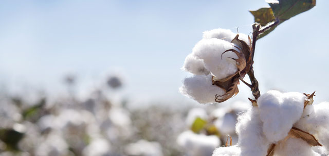 picture of cotton in field