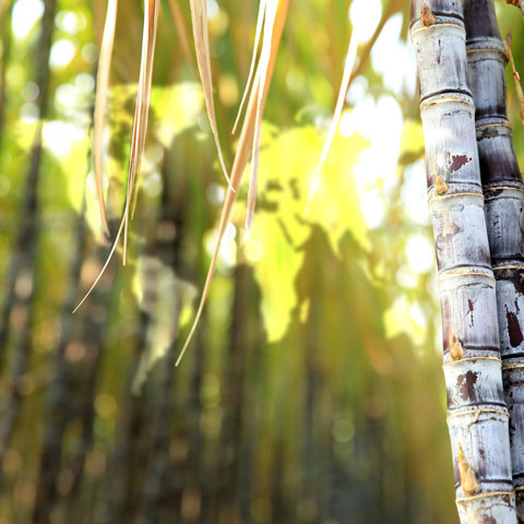 picture of sugarcane and world map