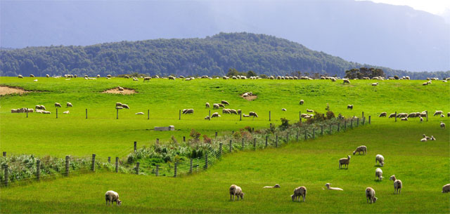 picture of grazing sheep in New Zealand
