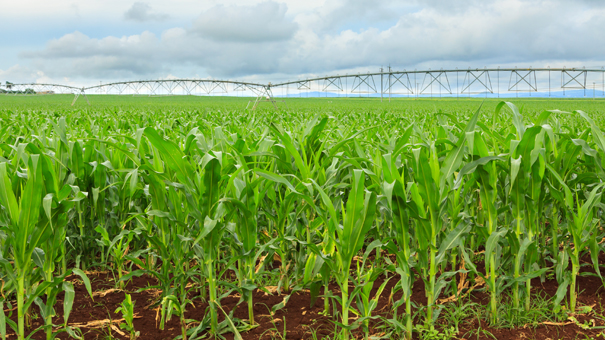 photo of Australian corm fields