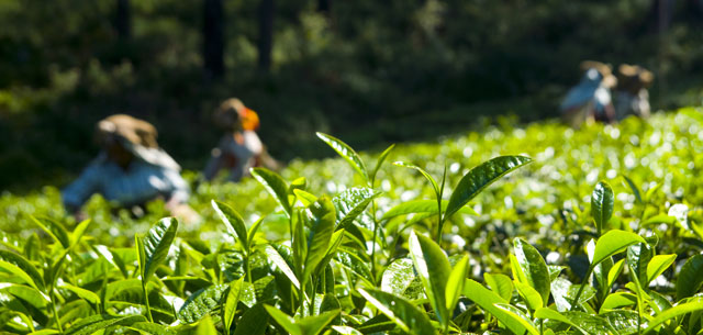 photo of tea pickers in India