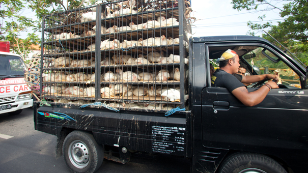 photo of Indonesian chicken transport