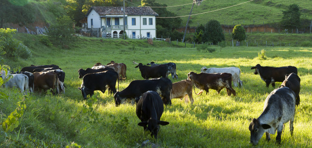 picture of Brazilian Dairy Cows