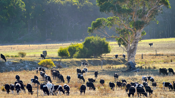 photo of Australian dairy cows