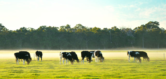 Picture of dairy cows in Australia
