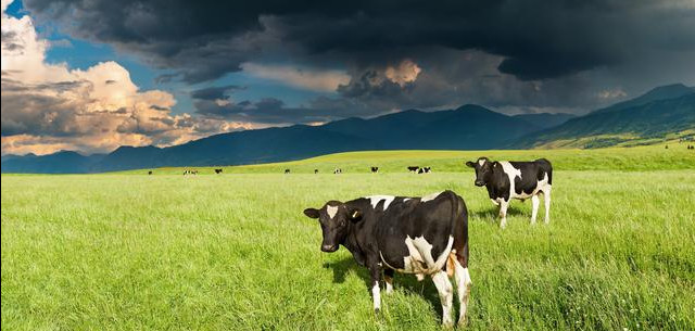 Dairy cows dark clouds