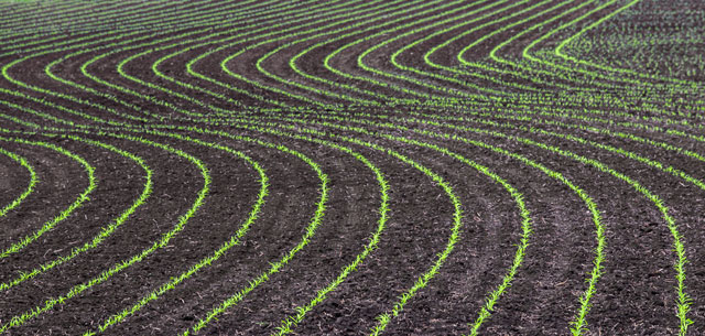 pictur of corn row crops