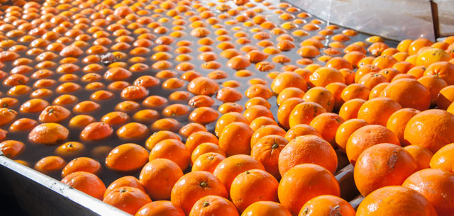 picture of oranges being washed prior to waxing