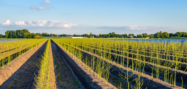 picture of asparagus fields in the Netherlands