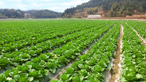 photo of Chinese kale field