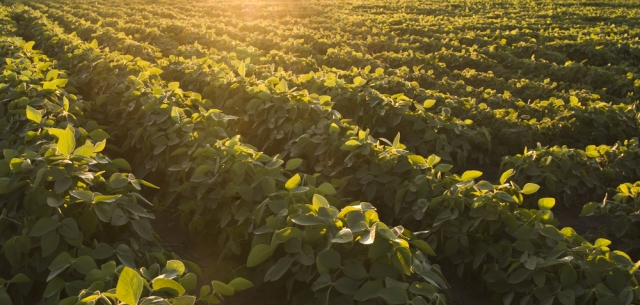 photo of soybean field