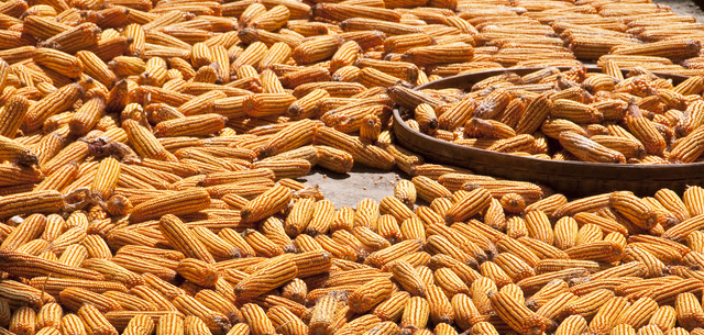 Picture of chinese corn drying in the sun