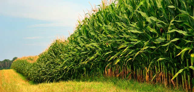 picture of a row of cornstalks