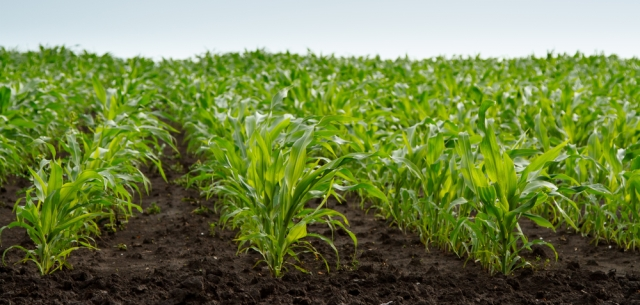 photo of young corn plants