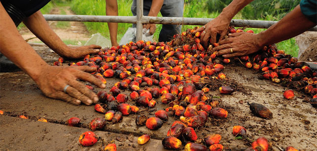 picture of palm fruit harvested