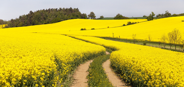 photo of rapeseed