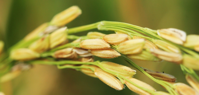 picture of rice kernel