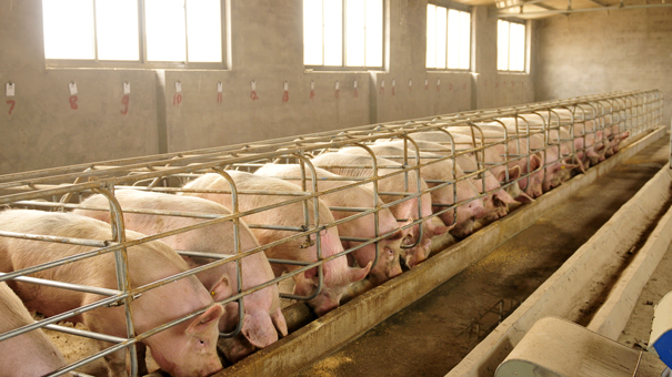 photo of Chinese pig farm