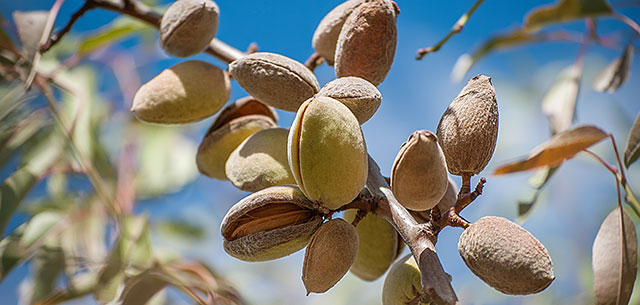 picture of almonds on tree