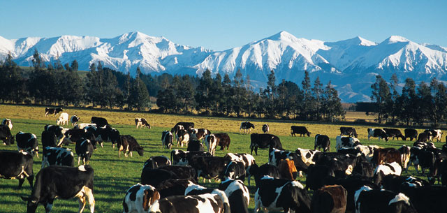 picture of NZ cows