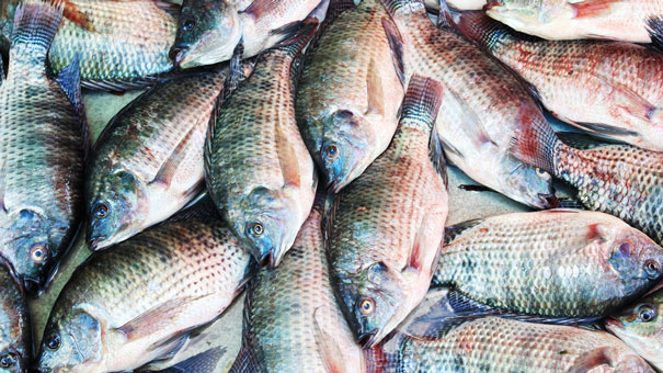 Pictur of Tilapia