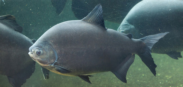 picture of tambaqui fish