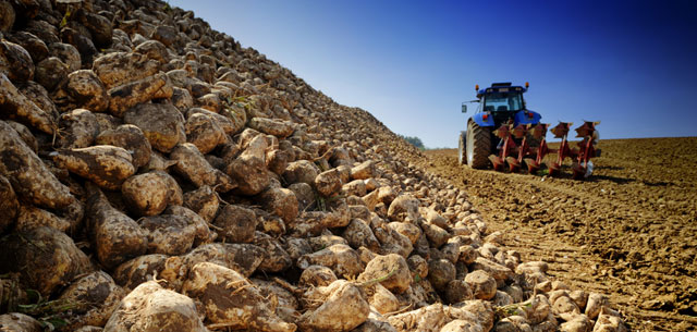 Picture of sugar beets