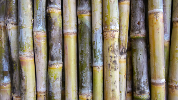 photo of Indian Sugarcane
