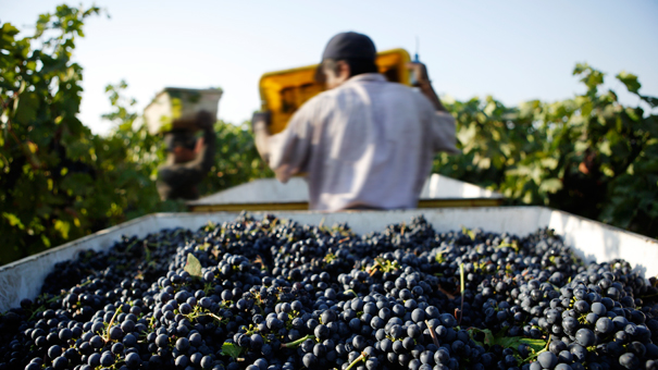 photo of grapes being harvested