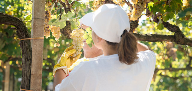 Picture of person plucking grapes