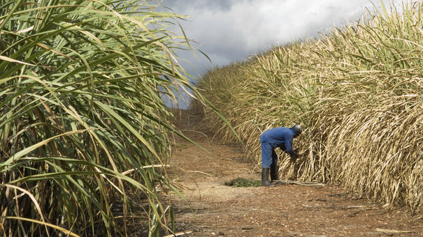 sugar cane field and one farmer
