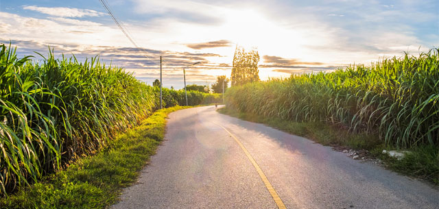 picture of thai sugarcane field