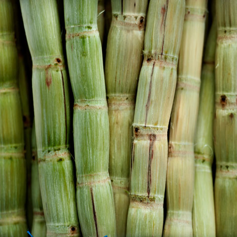 picture of sugarcane