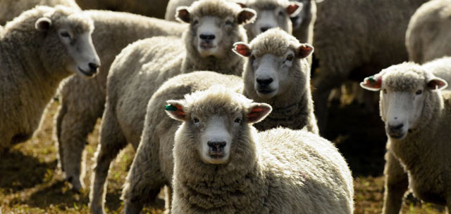 picture of New Zealand sheep