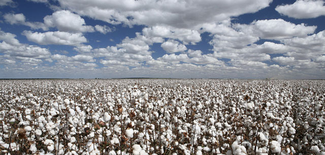 picture of cotton field